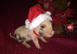 Picture of available miniature pig