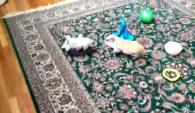 Video of miniature pig playing